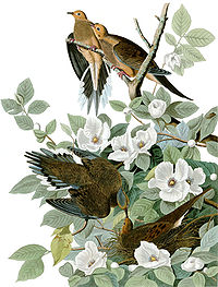 Illustration of two pairs of mourning doves sitting in a bush of white flowers, one in a nest