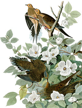 Illustratie van treurduiven in The Birds of America