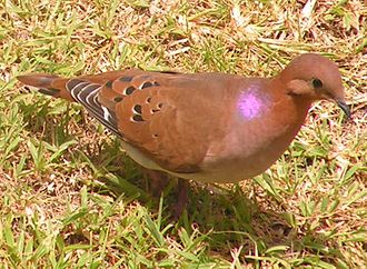 Fauna of Barbados - The ubiquitous zenaida dove is found throughout the island
