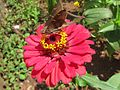 Zinnia and butterfly 1.jpeg
