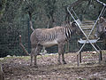 Zoo de Lunaret - Zèbre de Grévy - P1600261.jpg