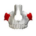Zygomatic process of maxilla - close up - anterior view.png