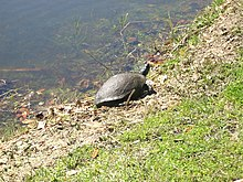 """A turtle on the shore March 2008.jpg"".jpg"
