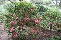 """Mrs, David Reed"" (Camellia japonica) (3502720987).jpg"