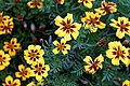 'Tagetes patula' French marigold Tall Scotch Prize Capel Manor Gardens Enfield London England 4.jpg