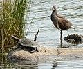 (1)turtle Centennial Park-2aa.jpg