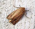 (2369) Bulrush Wainscot (Nonagria typhae) (9584290740).jpg