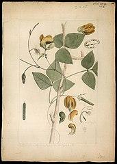 (Phaseolus lasiocarpus, Mart)
