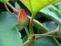 (Thunbergia grandiflora) Flower bud at Shivaji Park 02.jpg