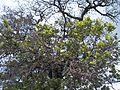 Árbol de Tejocote, Cerro Mesa Ahumada (2).jpg