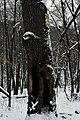 Дуби Рильського DSC 0129.jpg
