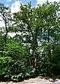 Дуб Січових стрільців DSC 0447 stitch.jpg