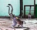Київський зоопарк Лемури котячі 06.JPG