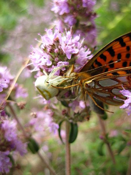 File:Пеперуга плен на пајак (2).JPG