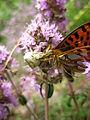 Пеперуга плен на пајак (2).JPG