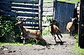 Поведение благородного оленя.jpg