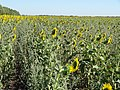 Подсолнухи - sunflowers - panoramio (2).jpg
