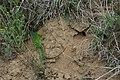 РЛП Гранітно-Степове Побужжя. Ящірка зелена (Lacerta viridis).JPG