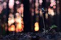 Сон-трава лучна (Pulsatilla pratensis).jpg