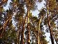 Сосновий ліс в заказнику Пашене (с. Пашенівка).jpg