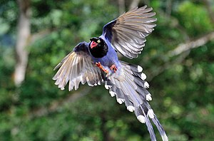 Taiwan blue magpie - Taiwan blue magpie in flight