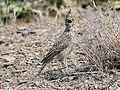 چکاوک کاکلی ماده - warbler - panoramio.jpg
