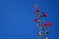 گل کاغذی- Bougainvillea 14.jpg