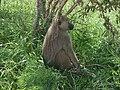 येलो बाबून (Papio cynocephalus), त्सवो ईस्ट नॅशनल पार्क, केनिया.jpg