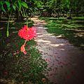 ดอกพู่ระหง( Fringed hibiscus )ภายในบริเวณธรรมาศรมนานาชาติ (สวนโมกข์นานาชาติ) ,ไชยา - panoramio.jpg