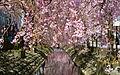 二ヶ領用水の桜.JPG