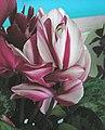 太空仙客來 Cyclamen persicum -香港北區花鳥蟲魚展 North District Flower Show, Hong Kong- (9255174568).jpg