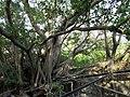 安平樹屋 Anping Tree House - panoramio (2).jpg