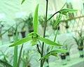寒蘭-桃腮素 Cymbidium kanran Plain-flower-series -香港北區花鳥蟲魚展 North District Flower Show, Hong Kong- (9219874267).jpg