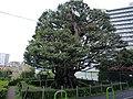 旧細川邸のシイ 20080413 - panoramio.jpg