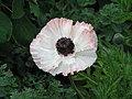 東方罌粟 Papaver orientale Khedive -英格蘭 Wisley Gardens, England- (9229900354).jpg