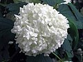 歐洲繡球莢迷 Viburnum opulus -荷蘭 Keukenhof Flower Show, Holland- (9227118561).jpg
