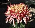 菊花-金閣晚霞 Chrysanthemum morifolium 'Golden Chamber Sunset Glow' -香港圓玄學院 Hong Kong Yuen Yuen Institute- (12099003805).jpg