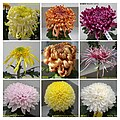 菊花 Chrysanthemum morifolium cultivars 17 -上海共青森林公園 Shanghai, China- (11962010886).jpg