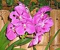 萬代蘭 Vanda Pat Delight -香港公園 Hong Kong Park- (9166018960).jpg