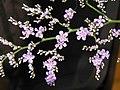 補血草(情人草) Limonium latifolium -香港青衣市鎮 Tsing Yi Town, Hong Kong- (9198167947).jpg