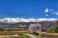 野平の一本桜 - panoramio (1).jpg