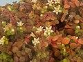 青鎖龍屬 Crassula browniana -香港花展 Hong Kong Flower Show- (33660962452).jpg