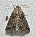 -11135 – Schinia rivulosa – Ragweed Flower Moth (48426611491).jpg