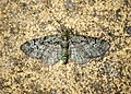 -1860- Green Pug (Pasiphila rectangulata) (42905676741).jpg