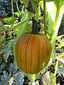 -2019-08-23 Field pumpkin, Trimingham, Norfolk (1).JPG
