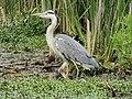 -2020-06-10 Grey Heron (Ardea cinerea), Paston, Norfolk (2).JPG