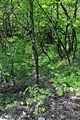 01-216-5001 Agarmys Forest DSC 4350.jpg