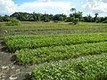 0216jfPanoramics Pulilan Vegetables Plants Philippinesfvf 13.JPG