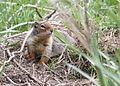 0237 ground squirrel munsel odfw (5806239856).jpg