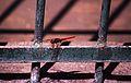026Zypern Libelle Kolossi (14062256694).jpg